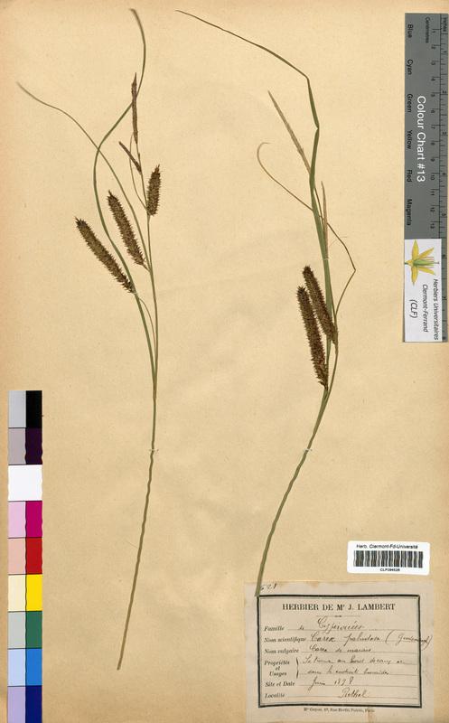 http://bibliotheque-virtuelle.clermont-universite.fr/files/fichiers_bcu/Carex_paludosa_CLF094528.jpg