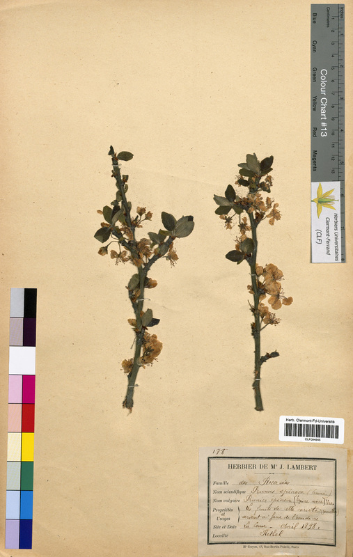 http://bibliotheque-virtuelle.clermont-universite.fr/files/fichiers_bcu/Prunus_spinosa_CLF094545.jpg
