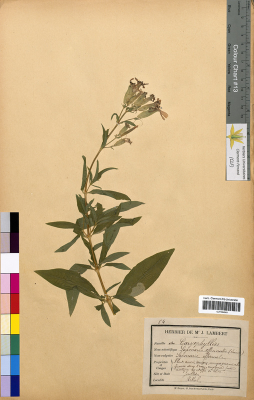 http://bibliotheque-virtuelle.clermont-universite.fr/files/fichiers_bcu/Saponaria_officinalis_CLF094593.jpg