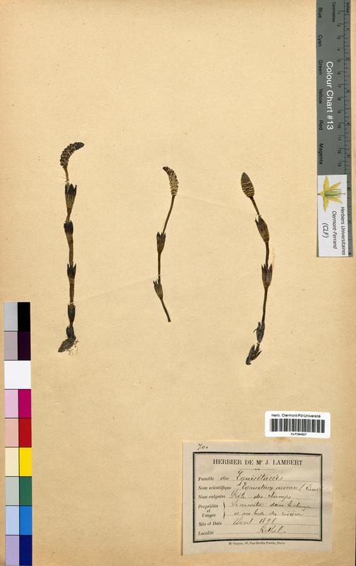 http://bibliotheque-virtuelle.clermont-universite.fr/files/fichiers_bcu/Equisetum_arvense_CLF094607.jpg