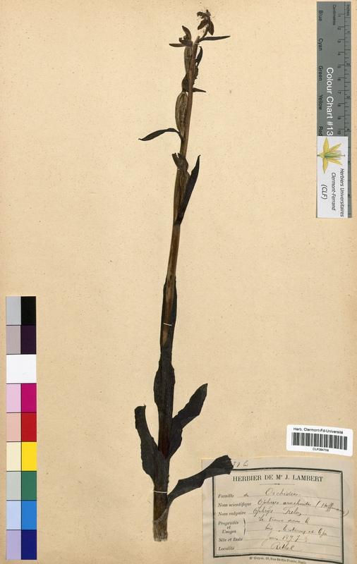http://bibliotheque-virtuelle.clermont-universite.fr/files/fichiers_bcu/Ophrys_arachnites_CLF094709.jpg