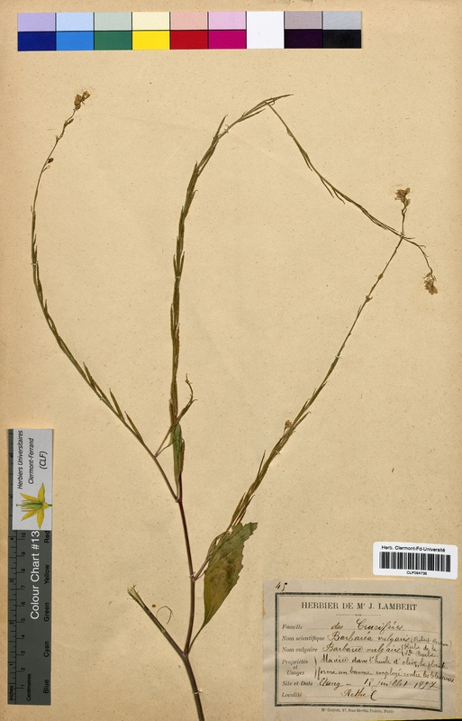 http://bibliotheque-virtuelle.clermont-universite.fr/files/fichiers_bcu/Barbarea_vulgaris_CLF094735.jpg