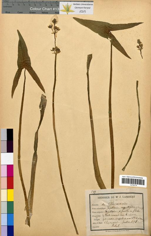 http://bibliotheque-virtuelle.clermont-universite.fr/files/fichiers_bcu/Sagittaria_sagittifolia_CLF094776.jpg