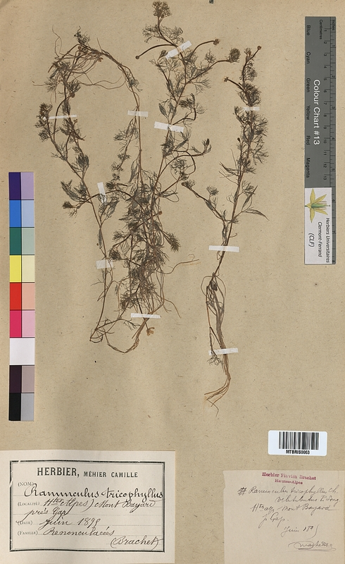 http://bibliotheque-virtuelle.clermont-universite.fr/files/fichiers_bcu/Ranunculus_trichophyllus_MTBRIS0063.jpg