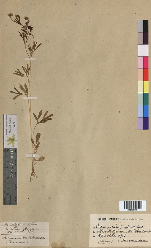 http://bibliotheque-virtuelle.clermont-universite.fr/files/fichiers_bcu/Ranunculus_nemorosus_MTBRIS0081.jpg
