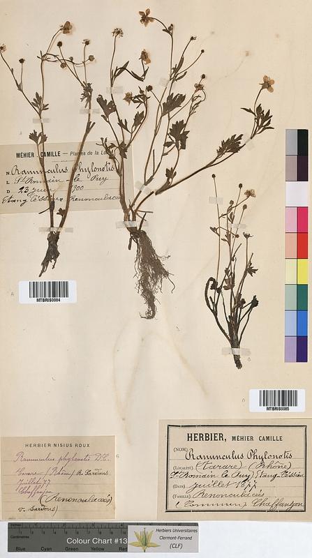 http://bibliotheque-virtuelle.clermont-universite.fr/files/fichiers_bcu/Ranunculus_philonotis_MTBRIS0085.jpg
