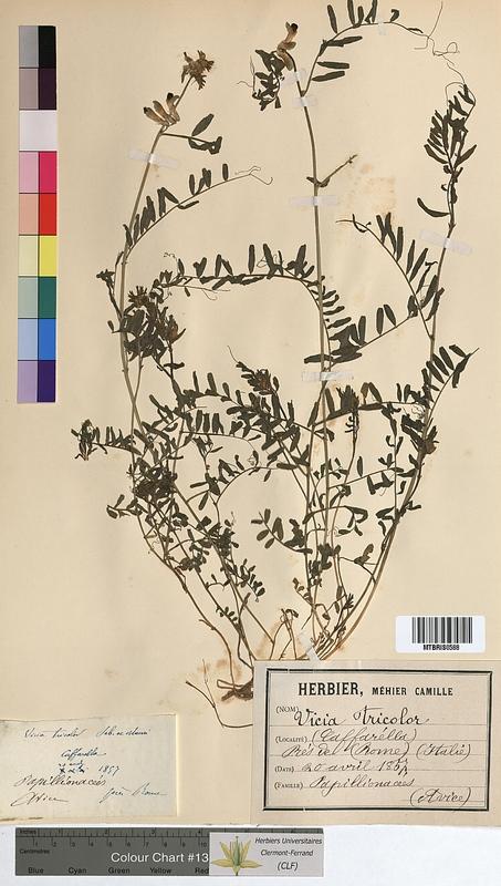 http://bibliotheque-virtuelle.clermont-universite.fr/files/fichiers_bcu/Vicia_tricolor_MTBRIS0588.jpg