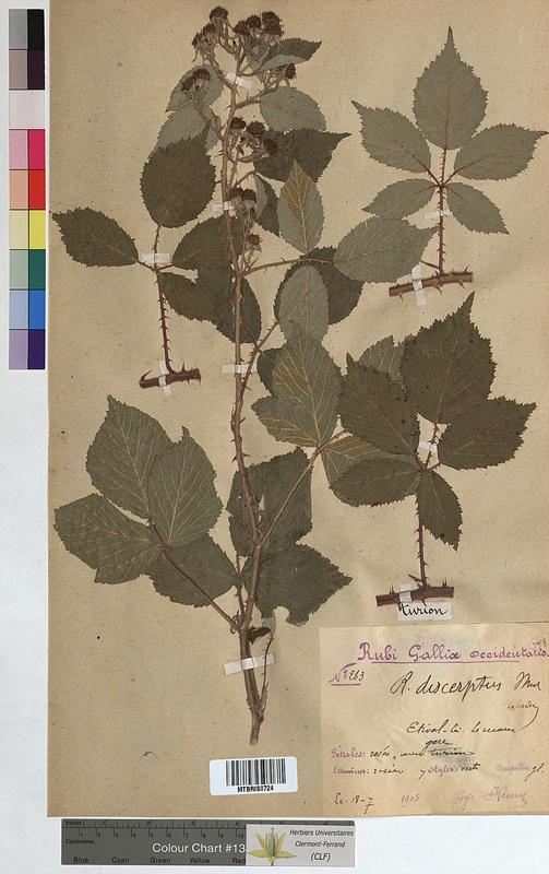 http://bibliotheque-virtuelle.clermont-universite.fr/files/fichiers_bcu/Rubus_discerptus_MTBRIS0724.jpg