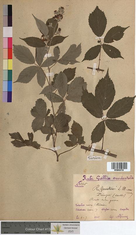 http://bibliotheque-virtuelle.clermont-universite.fr/files/fichiers_bcu/Rubus_questieri_MTBRIS0726.jpg