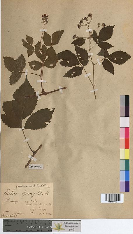 http://bibliotheque-virtuelle.clermont-universite.fr/files/fichiers_bcu/Rubus_sprengelii_MTBRIS0727.jpg