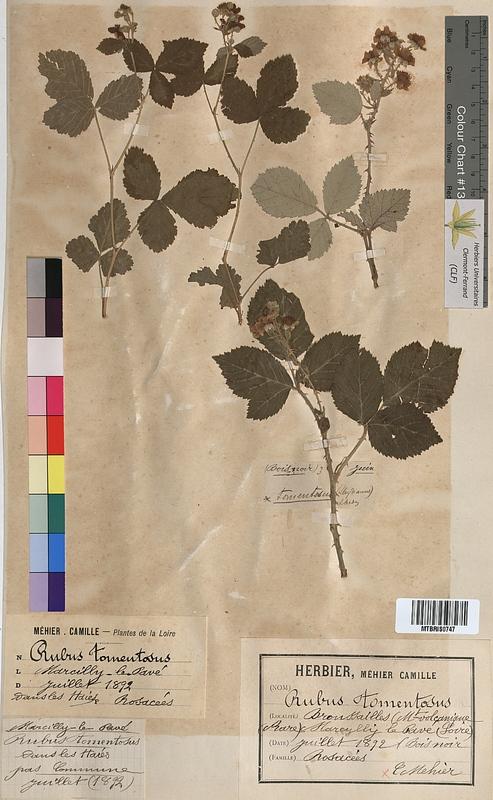 http://bibliotheque-virtuelle.clermont-universite.fr/files/fichiers_bcu/Rubus_tomentosus_MTBRIS0747.jpg