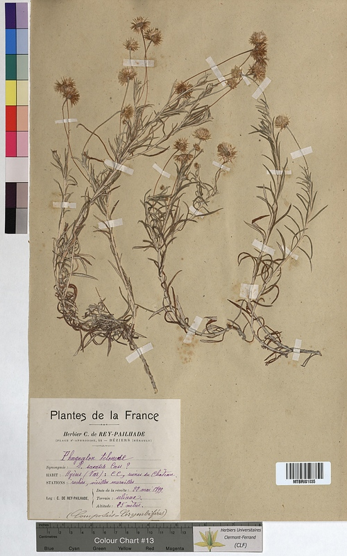 http://bibliotheque-virtuelle.clermont-universite.fr/files/fichiers_bcu/Phagnalon_telonense_MTBRIS1035.jpg