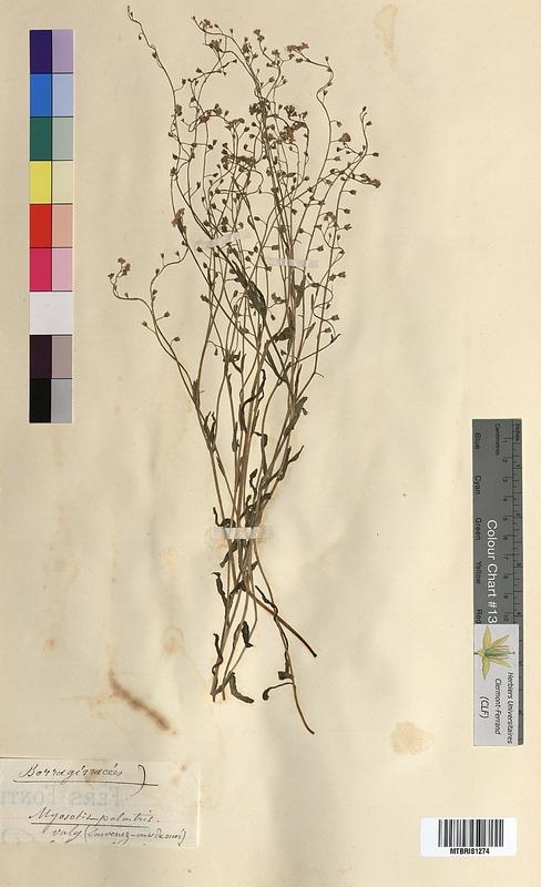 http://bibliotheque-virtuelle.clermont-universite.fr/files/fichiers_bcu/Myosotis_palustris_MTBRIS1274.jpg