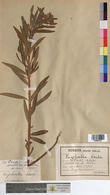 http://bibliotheque-virtuelle.clermont-universite.fr/files/fichiers_bcu/Euphorbia_esula_MTBRIS1823.jpg