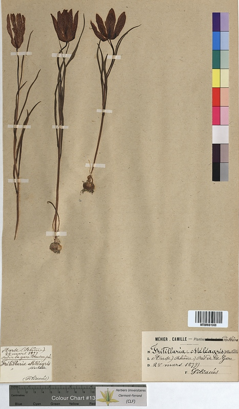 http://bibliotheque-virtuelle.clermont-universite.fr/files/fichiers_bcu/Fritillaria_meleagris_MTBRIS1908.jpg