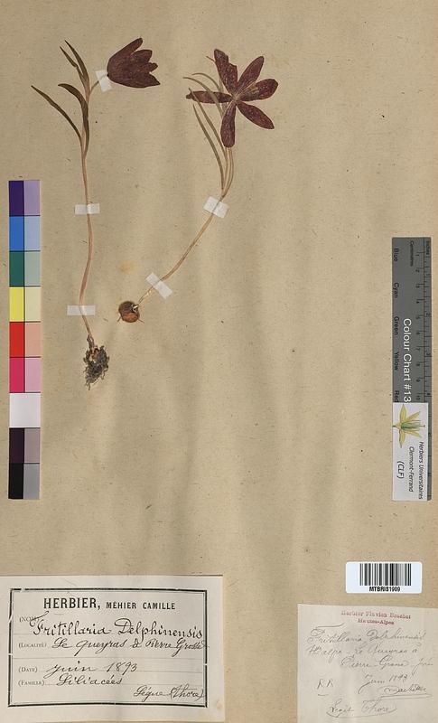 http://bibliotheque-virtuelle.clermont-universite.fr/files/fichiers_bcu/Fritillaria_delphinensis_MTBRIS1909.jpg
