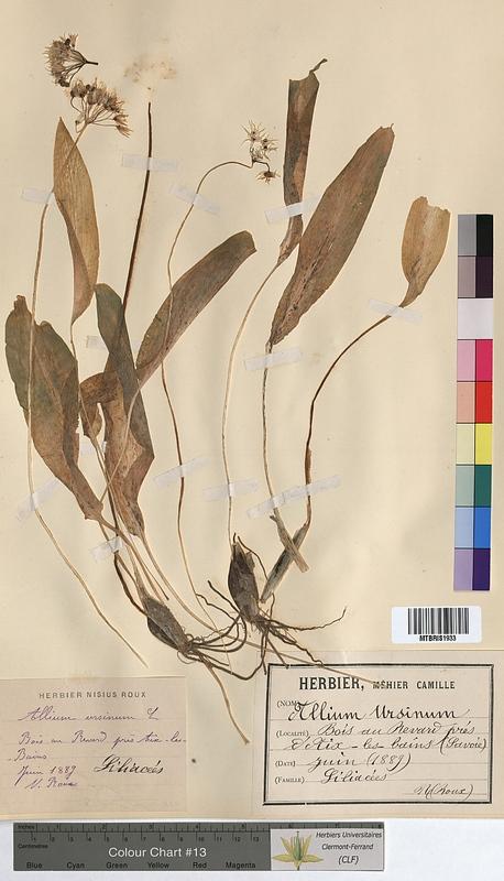 http://bibliotheque-virtuelle.clermont-universite.fr/files/fichiers_bcu/Allium_ursinum_MTBRIS1933.jpg