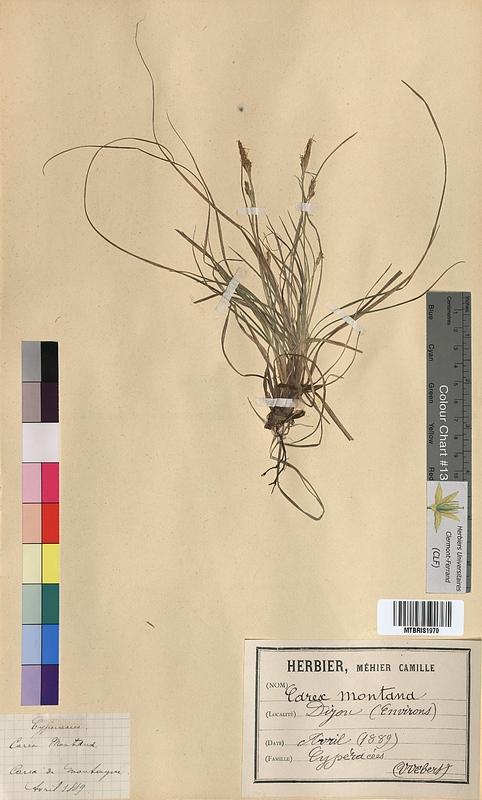 http://bibliotheque-virtuelle.clermont-universite.fr/files/fichiers_bcu/Carex_montana_MTBRIS1970.jpg