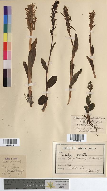 http://bibliotheque-virtuelle.clermont-universite.fr/files/fichiers_bcu/Orchis_viridis_MTBRIS2012.jpg
