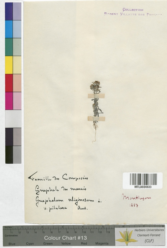 http://bibliotheque-virtuelle.clermont-universite.fr/files/fichiers_bcu/Leontopodium_alpinum_MTLUCO0633.jpg