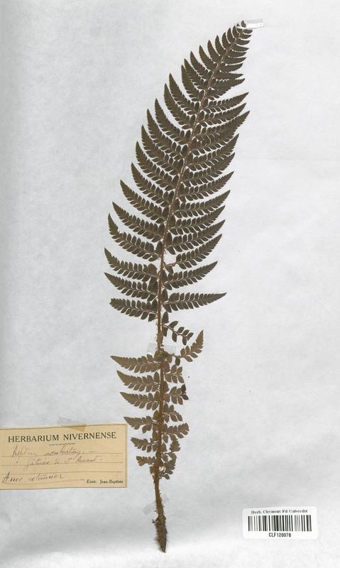https://bibliotheque-virtuelle.bu.uca.fr/files/fichiers_bcu/Aspleniaceae_Asplenium_aculeatum_CLF120078.jpg