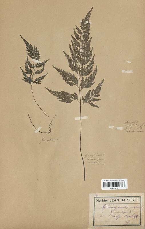 https://bibliotheque-virtuelle.bu.uca.fr/files/fichiers_bcu/Aspleniaceae_Asplenium_adiante-nigrum_CLF120110.jpg