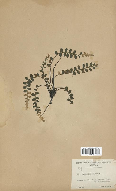 https://bibliotheque-virtuelle.bu.uca.fr/files/fichiers_bcu/Aspleniaceae_Asplenium_marinum_CLF120113.jpg