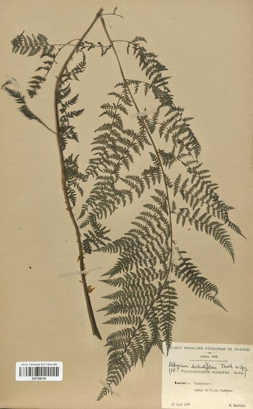 https://bibliotheque-virtuelle.bu.uca.fr/files/fichiers_bcu/Woodsiaceae_Athyrium_distentifolium_CLF120118.jpg