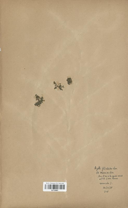 https://bibliotheque-virtuelle.bu.uca.fr/files/fichiers_bcu/Azollaceae_Azolla_filiculoides_CLF120067.jpg