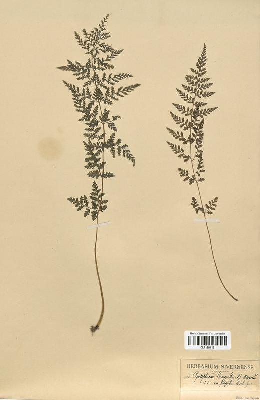 https://bibliotheque-virtuelle.bu.uca.fr/files/fichiers_bcu/Woodsiaceae_Cystopteris_fragilis_CLF120115.jpg
