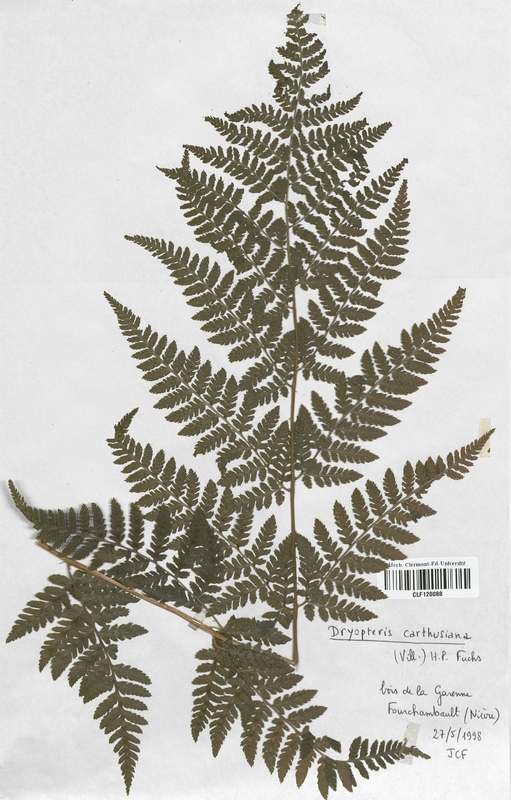 https://bibliotheque-virtuelle.bu.uca.fr/files/fichiers_bcu/Dryopteridaceae_Dryopteris_carthusiana_CLF120088.jpg