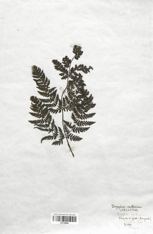 https://bibliotheque-virtuelle.bu.uca.fr/files/fichiers_bcu/Dryopteridaceae_Dryopteris_carthusiana_CLF120089.jpg