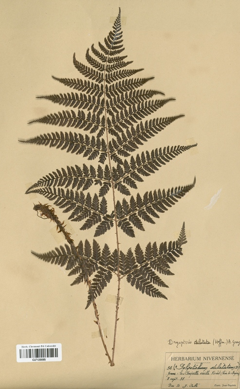 https://bibliotheque-virtuelle.bu.uca.fr/files/fichiers_bcu/Dryopteridaceae_Dryopteris_dilatata_CLF120085.jpg