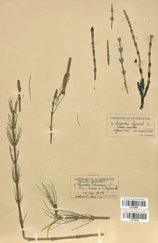 https://bibliotheque-virtuelle.bu.uca.fr/files/fichiers_bcu/Equisetaceae_Equisetum_limosum_CLF120036.jpg