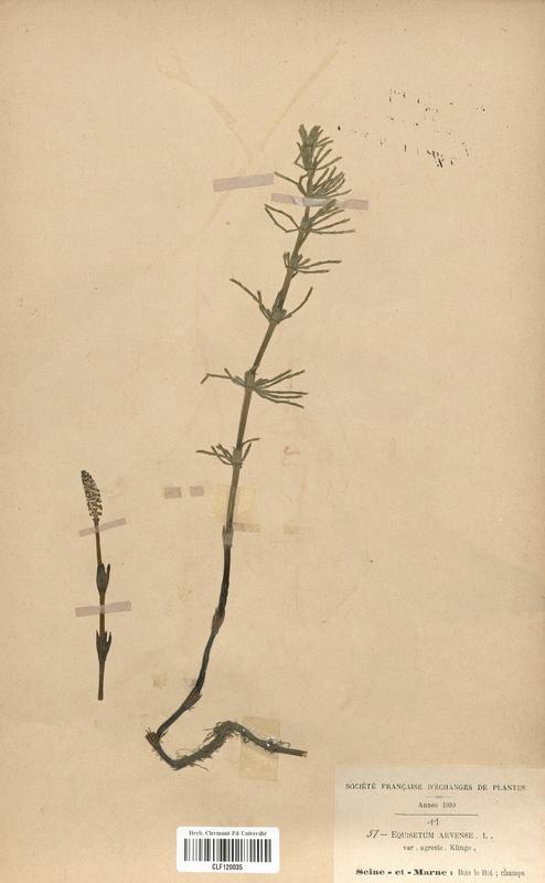 https://bibliotheque-virtuelle.bu.uca.fr/files/fichiers_bcu/Equisetaceae_Equisetum_arvense_CLF120035.jpg