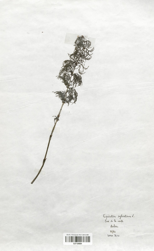 https://bibliotheque-virtuelle.bu.uca.fr/files/fichiers_bcu/Equisetaceae_Equisetum_arvense_CLF120034.jpg