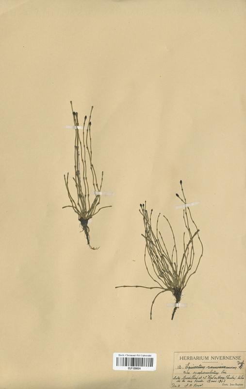 https://bibliotheque-virtuelle.bu.uca.fr/files/fichiers_bcu/Equisetaceae_Equisetum_ramosissimum_CLF120024.jpg