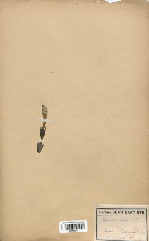 https://bibliotheque-virtuelle.bu.uca.fr/files/fichiers_bcu/Equisetaceae_Equisetum_x_litorale_CLF120016.jpg