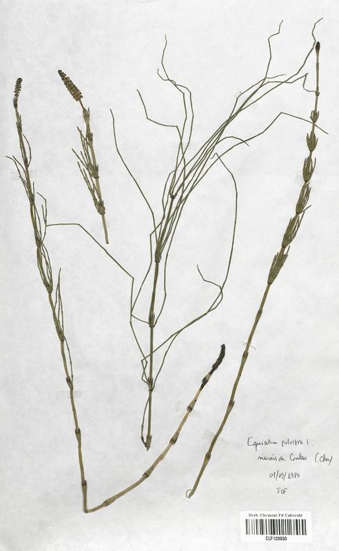 https://bibliotheque-virtuelle.bu.uca.fr/files/fichiers_bcu/Equisetaceae_Equisetum_palustre_CLF120030.jpg
