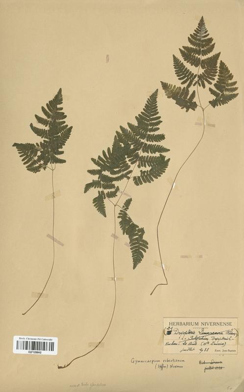 https://bibliotheque-virtuelle.bu.uca.fr/files/fichiers_bcu/Cystopteridaceae_Gymnocarpium_robertanianum_CLF120042.jpg