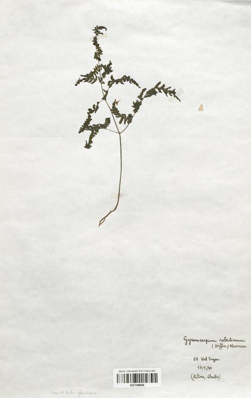 https://bibliotheque-virtuelle.bu.uca.fr/files/fichiers_bcu/Cystopteridaceae_Gymnocarpium_robertanianum_CLF120045.jpg