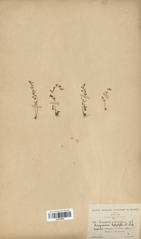 https://bibliotheque-virtuelle.bu.uca.fr/files/fichiers_bcu/Cystopteridaceae_Grammitis_leptophylla_CLF120048.jpg