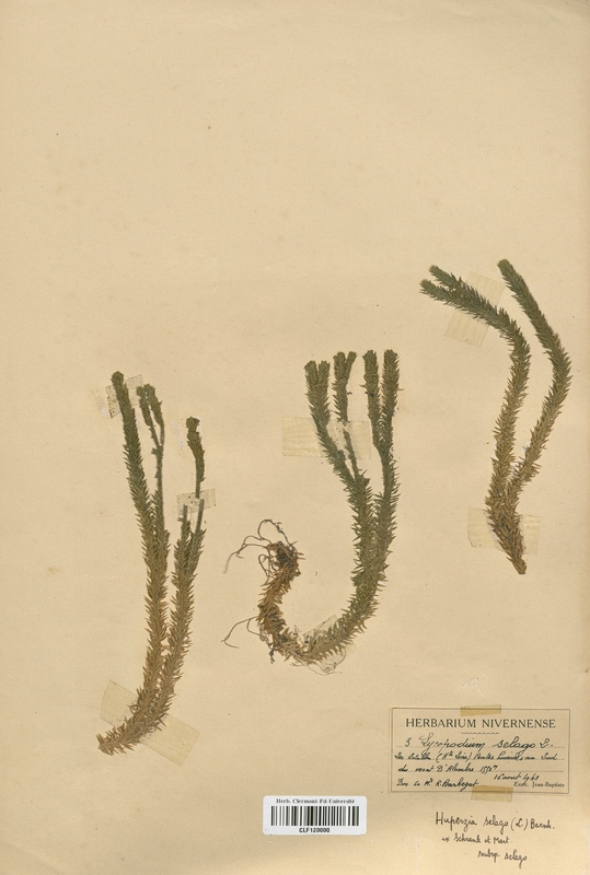 https://bibliotheque-virtuelle.bu.uca.fr/files/fichiers_bcu/Lycopodiaceae_Huperzia_selago_CLF120000.jpg