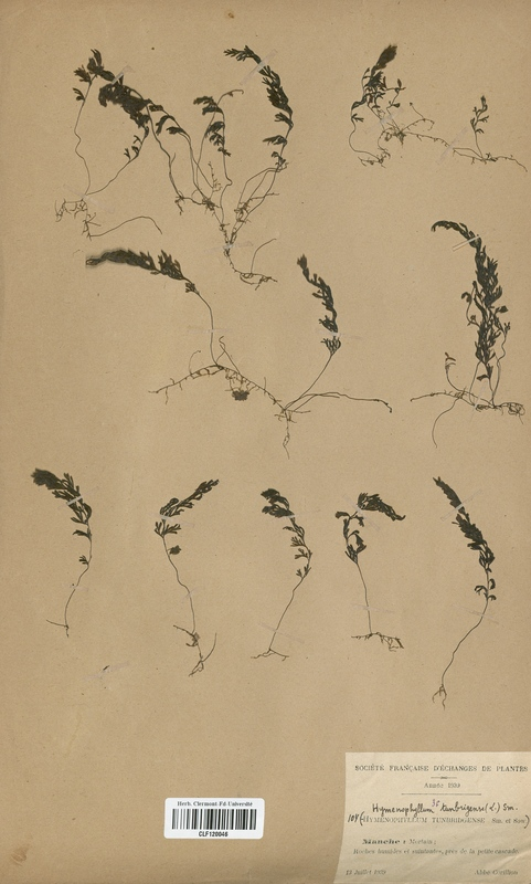 https://bibliotheque-virtuelle.bu.uca.fr/files/fichiers_bcu/Hymenophyllaceae_Hymenophyllum_tunbridgense_CLF120046.jpg