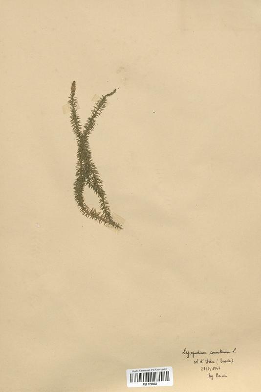 https://bibliotheque-virtuelle.bu.uca.fr/files/fichiers_bcu/Lycopodiaceae_Lycopodium_annotinum_CLF120003.jpg