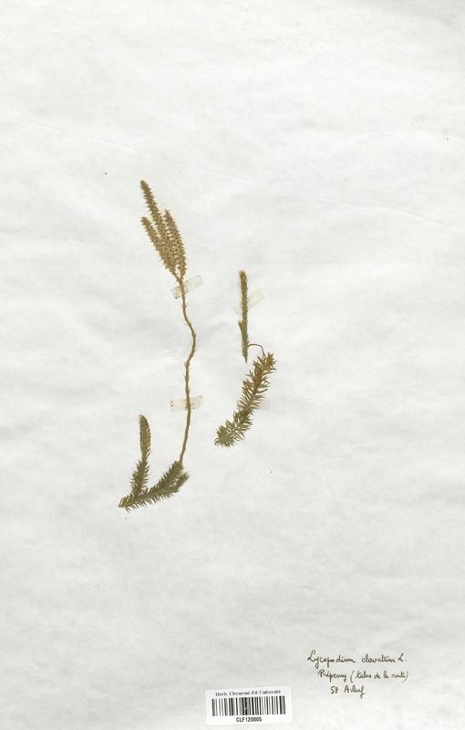 https://bibliotheque-virtuelle.bu.uca.fr/files/fichiers_bcu/Lycopodiaceae_Lycopodium_clavatum_CLF120005.jpg