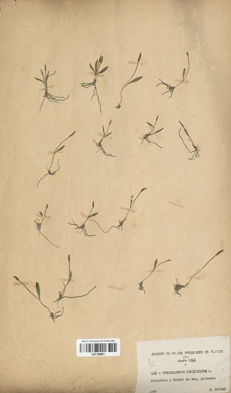 https://bibliotheque-virtuelle.bu.uca.fr/files/fichiers_bcu/Ophioglossaceae_Ophioglossum_lusitanicum_CLF120061.jpg