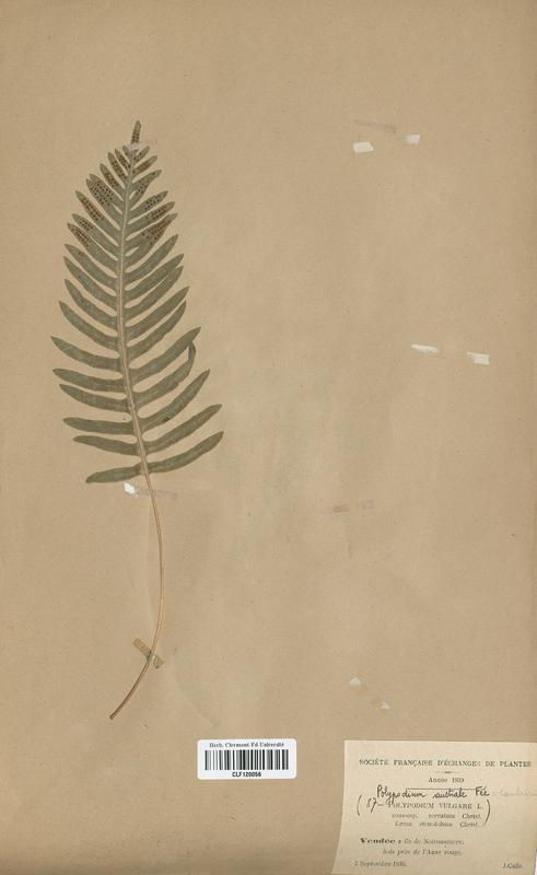 https://bibliotheque-virtuelle.bu.uca.fr/files/fichiers_bcu/Polypodiaceae_Polypodium_cambricum_CLF120056.jpg