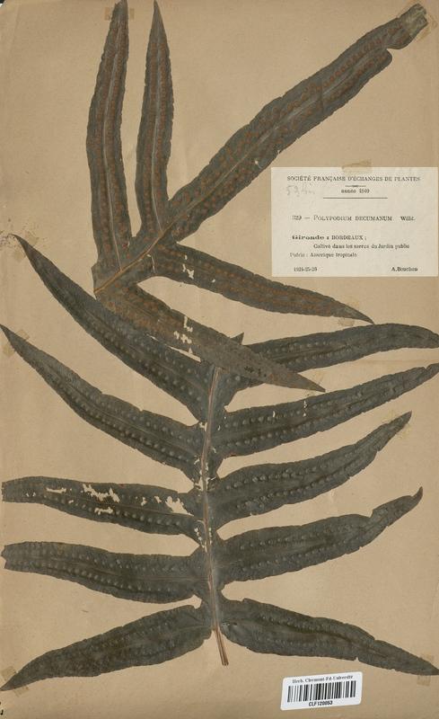 https://bibliotheque-virtuelle.bu.uca.fr/files/fichiers_bcu/Polypodiaceae_Polypodium_decumanum_CLF120053.jpg