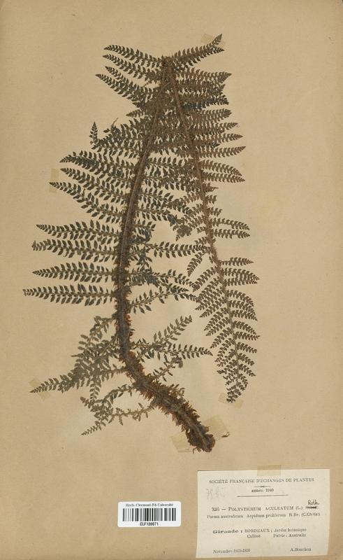 https://bibliotheque-virtuelle.bu.uca.fr/files/fichiers_bcu/Dryopteridaceae_Polystichum_aculeatum_CLF120071.jpg